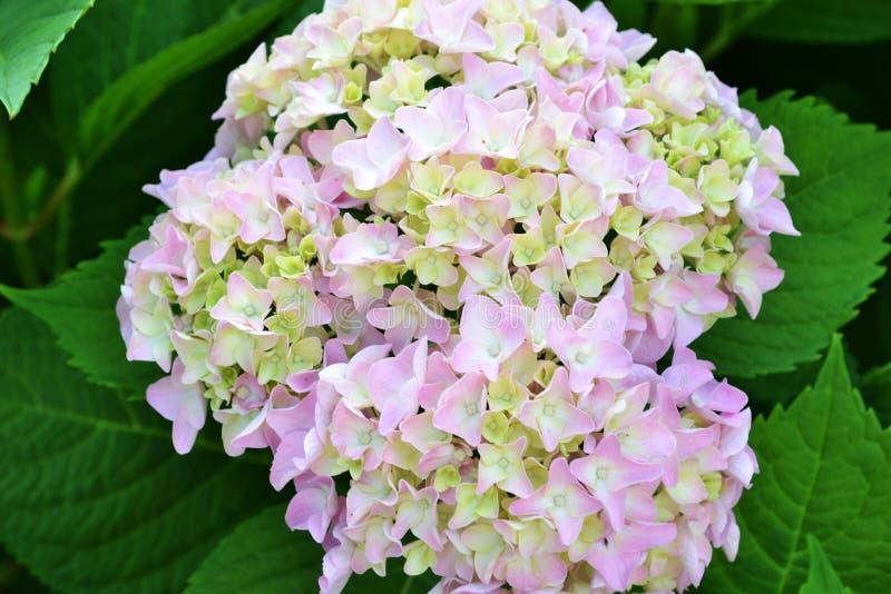 与鲜绿色的叶子的开花的桃红色八仙花属在夏天a 图库摄影