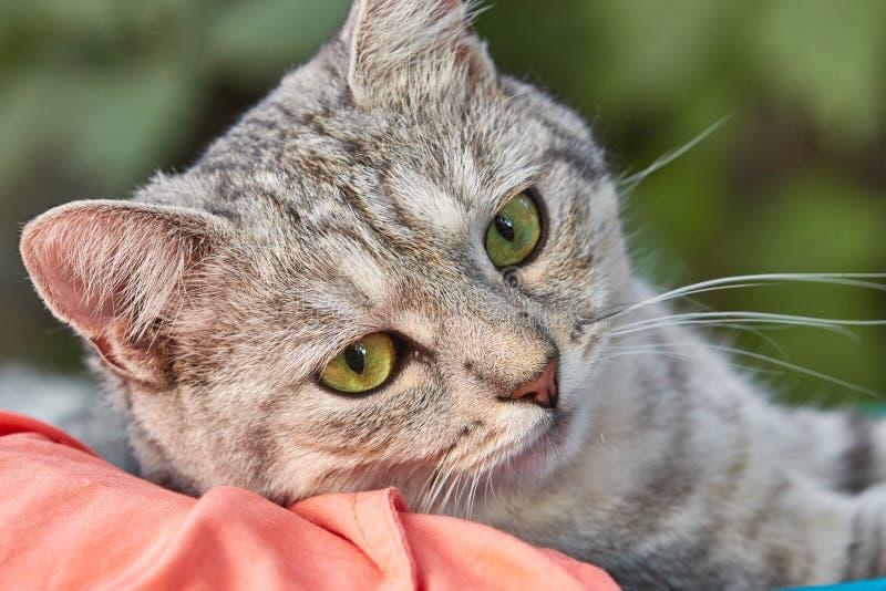 与鲜绿色的眼睛的灰色猫在绿色背景 一张逗人喜爱的面孔的特写镜头 库存图片