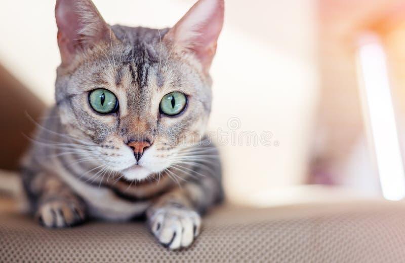 与鲜绿色的眼睛的美丽的灰色逗人喜爱的孟加拉猫,坐长沙发 库存照片