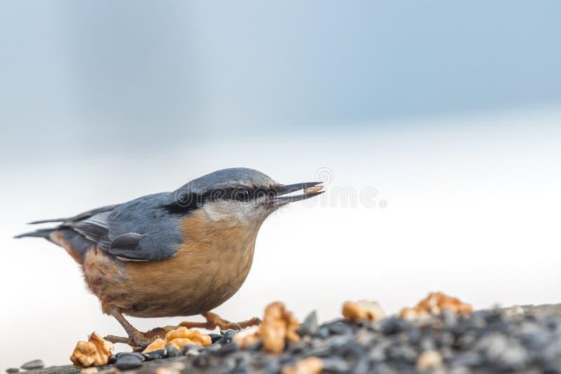 与鸟木五子雀五子雀类europaea的美好的自然场面 免版税库存照片