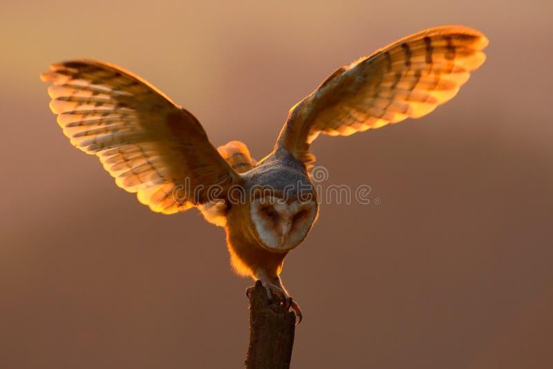 与鸟的晚上光与开放翼 与猫头鹰的行动场面 猫头鹰日落 与被涂的翼的谷仓猫头鹰着陆在Th的树桩 图库摄影
