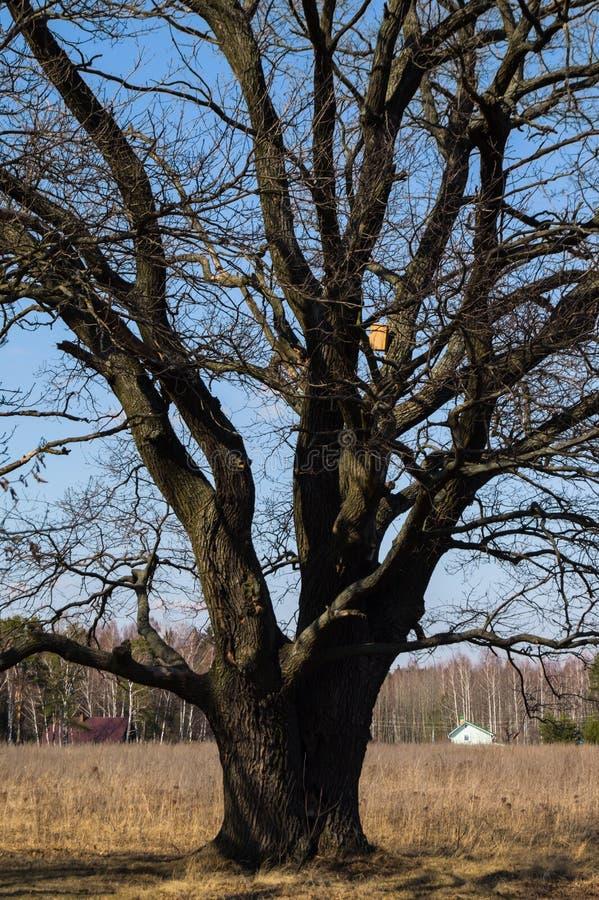 与鸟舍的古老橡木树在光秃的分支在早期的春天 免版税库存照片