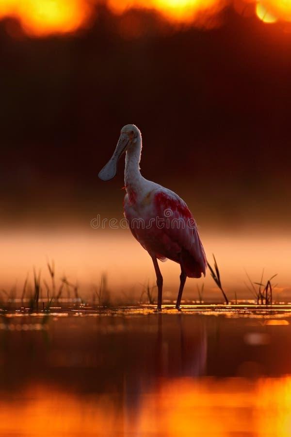 与鸟, Platalea ajaja,粉红琵鹭的美好的日出,在水太阳后面光,鸟细节画象与长的fla的 免版税库存照片