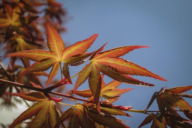 与鸡爪枫Acer Palmatum的红色叶子的年轻桔子在早期的春天展开 免版税库存照片