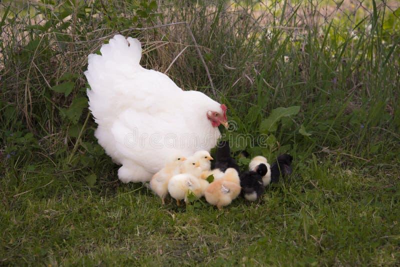 与鸡的一只巢母鸡 库存图片