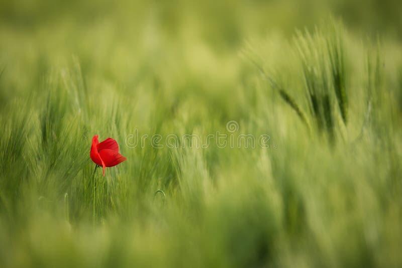 与鸦片和麦子的农村剧情 在麦子中的偏僻的红色鸦片特写镜头 免版税库存图片