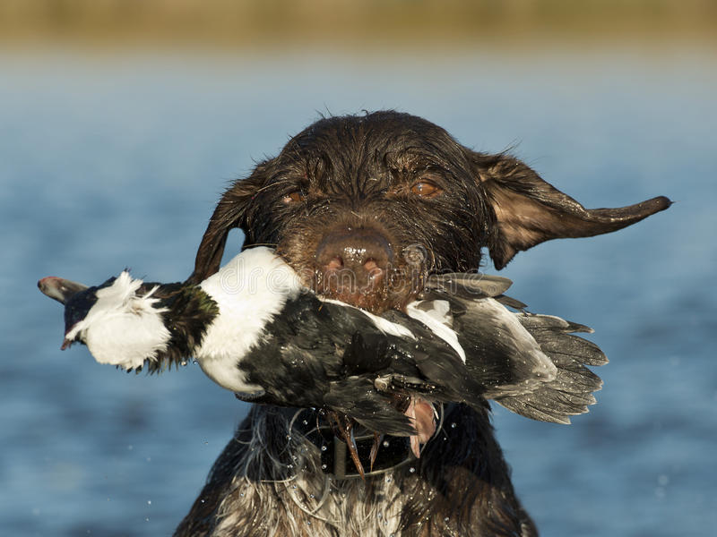 与鸭子的猎犬 库存图片