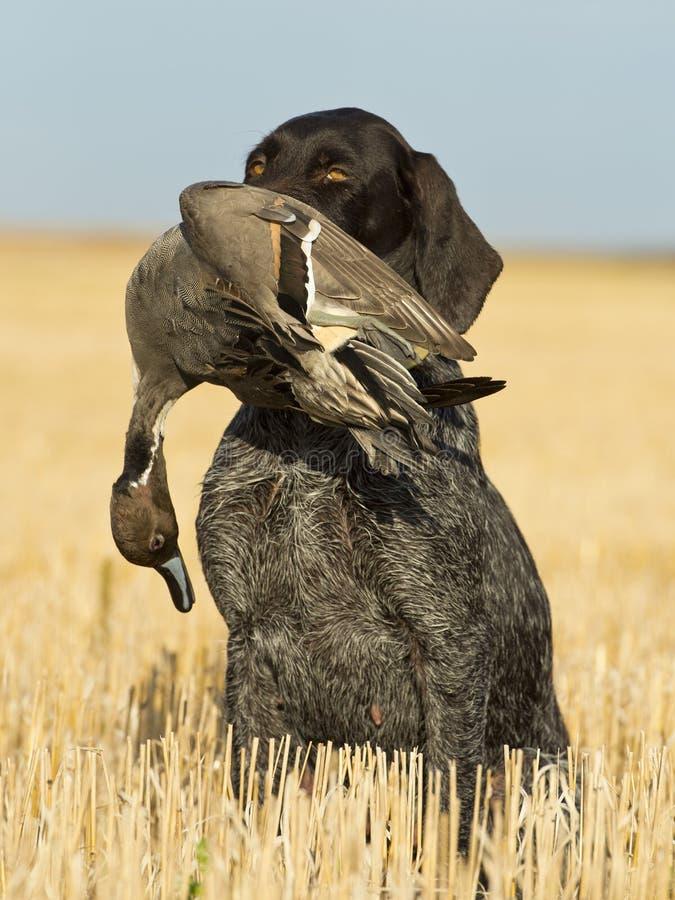 与鸭子的猎犬 免版税库存照片