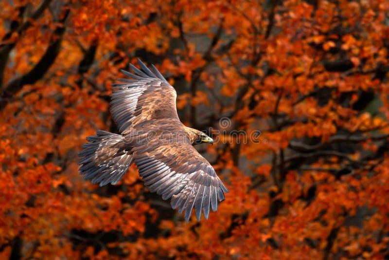 与鸷的橙色秋天场面 面对飞行白被盯梢的老鹰, Haliaeetus albicilla,与秋天森林的鸟backgroun的 库存图片