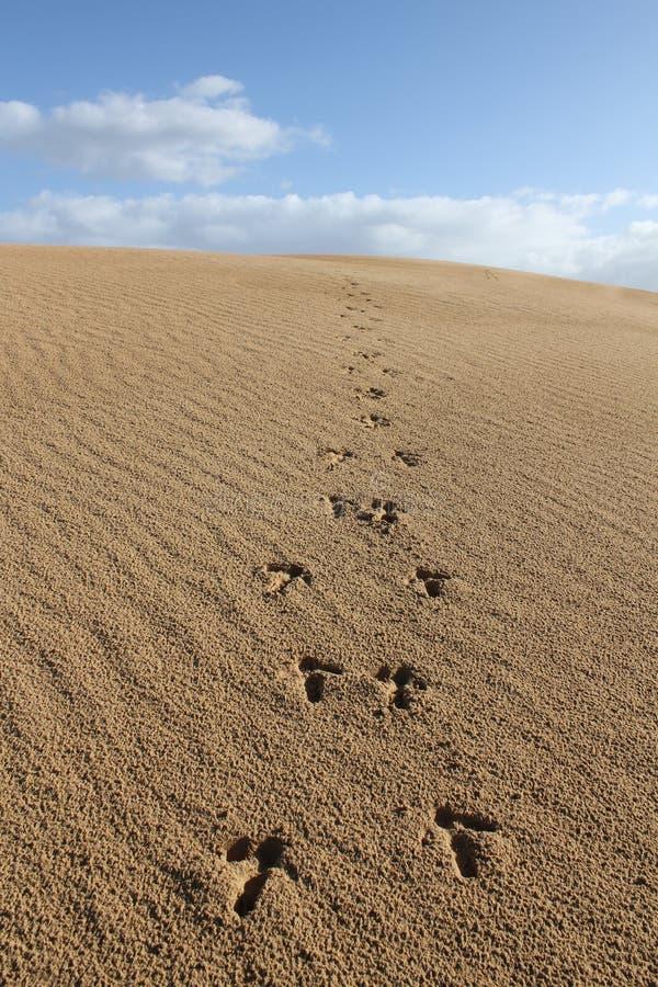 与鸸脚印的沙丘 库存图片