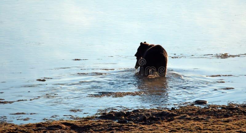 与麋的北美灰熊在黄石国家公园讨好在他的嘴游泳的尸体横跨黄石河在怀俄明美国 库存照片