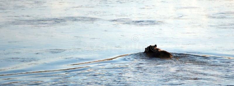 与麋的北美灰熊在黄石国家公园讨好在他的嘴游泳的尸体横跨黄石河在怀俄明美国 免版税库存图片