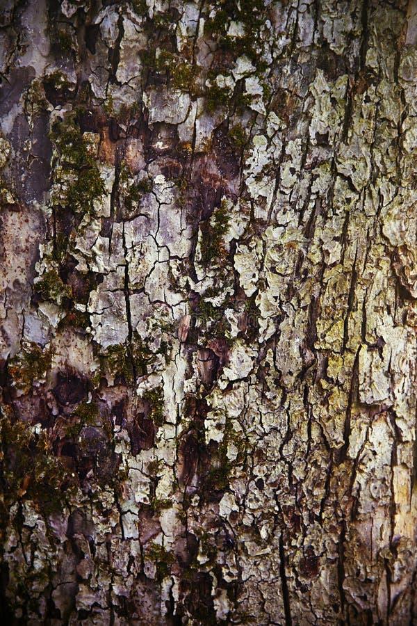 与麋的美好的树bork结构在树干 免版税库存照片