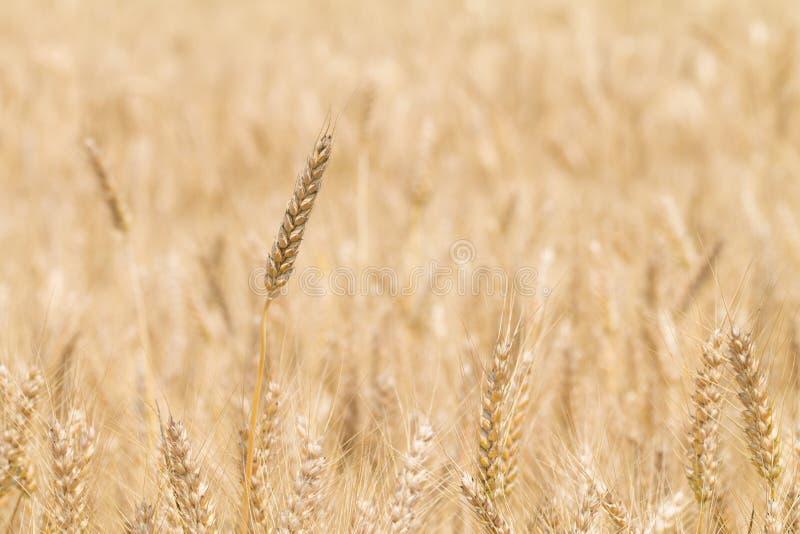 与麦子的耳朵的美好的金黄麦田 免版税库存图片
