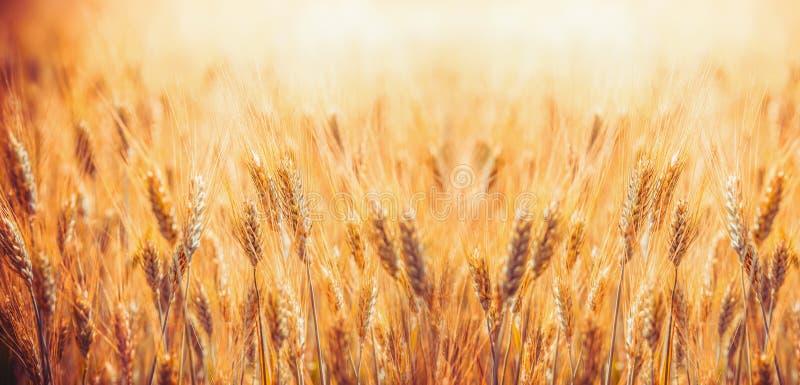 与麦子,农业农场和农厂概念的耳朵的金黄麦田