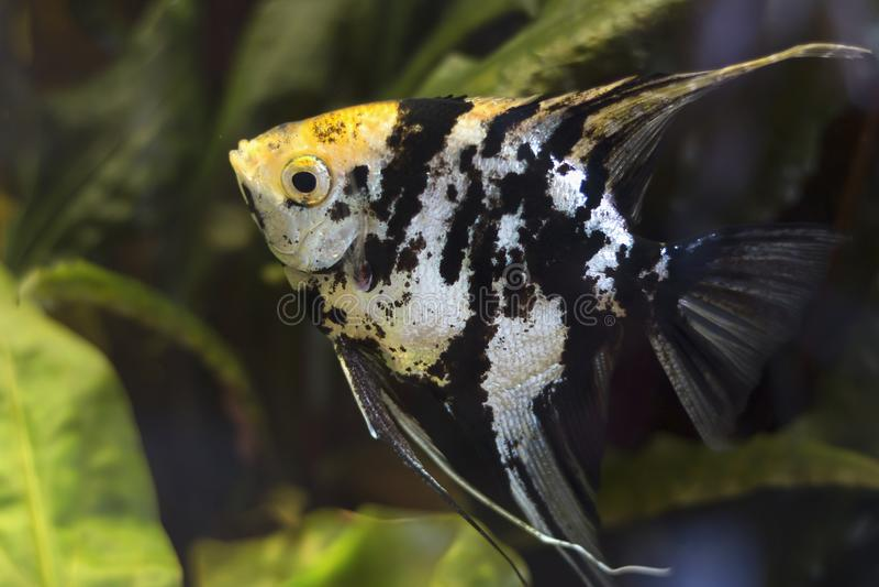 与黄斑的神仙鱼 Pterophyllum scalare 图库摄影