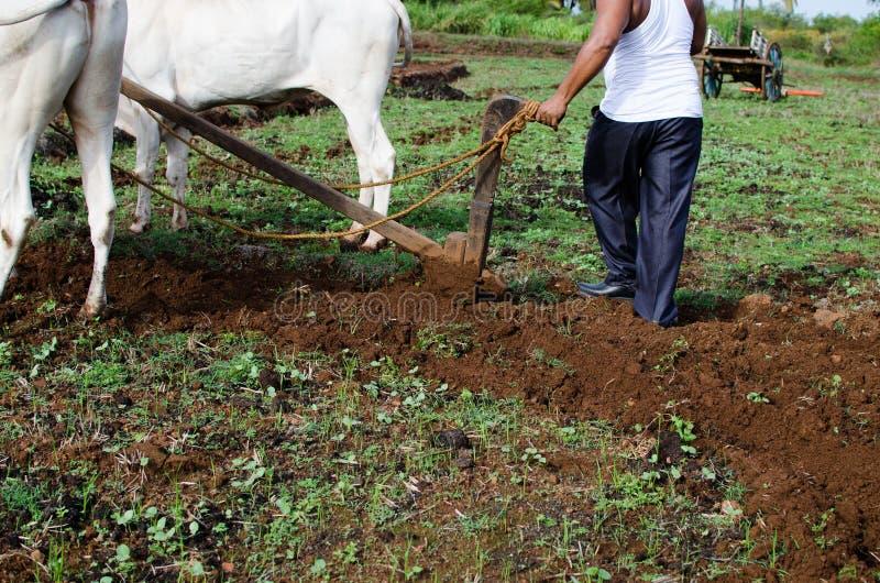 与黄牛的种田的和耕的领域 免版税库存图片
