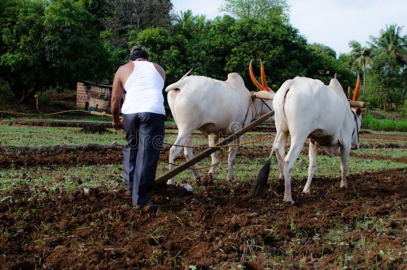 与黄牛的种田的和耕的领域 库存照片