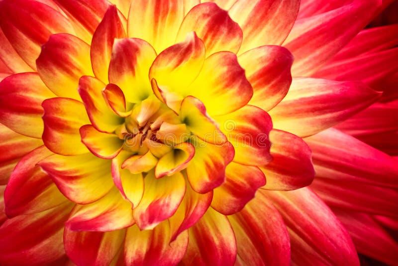 与黄色中心关闭的红色,橙色和黄色火焰颜色大丽花花宏观照片 集中于明亮的带红色和桃红色co 免版税库存图片