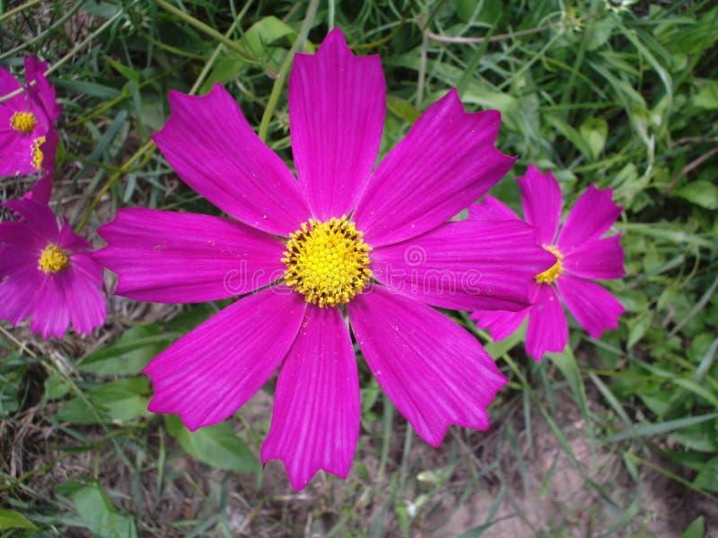 与黄色中心的淡紫色kosmeya花在草背景 库存照片