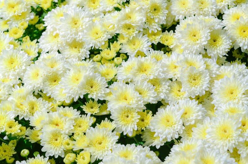 与黄色中心的白色菊花花在顶视图 免版税库存照片