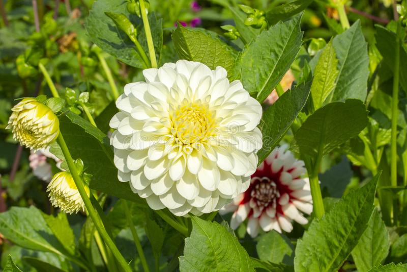 与黄色中部的白色大大丽花花本质上 Ahry大丽花菊花特写镜头,在绿色叶子的巨大的头状花序 免版税库存照片