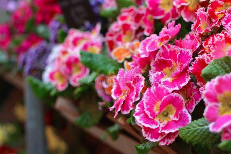 与黄色中间和白色技巧的桃红色樱草属春天花在与模糊的花的花架在背景中 库存图片