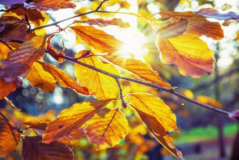与黄色叶子在日落,生动的过滤器的树 免版税库存照片