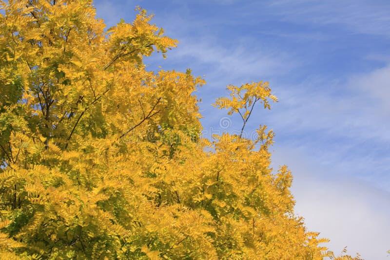 与黄色叶子的一棵树 免版税图库摄影