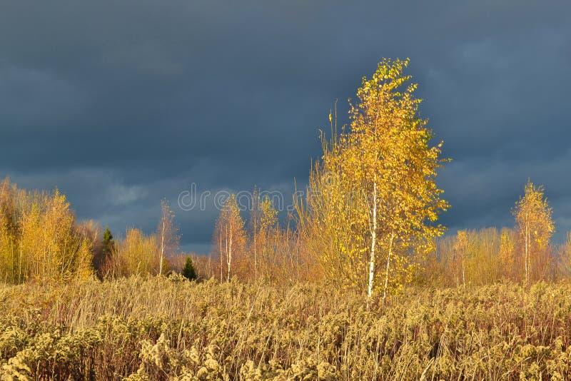 与黄色叶子的桦树反对风雨如磐的黑暗的天空的背景 库存图片