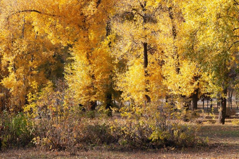 与黄色和橙色叶子的白扬树接近河,在秋天 免版税库存照片
