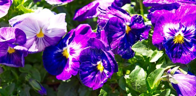 与黄色和白色的紫色蝴蝶花 库存图片