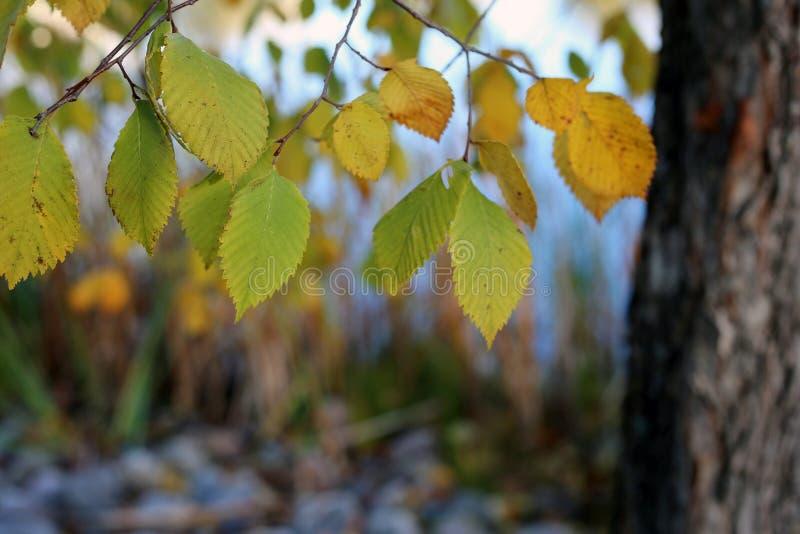 与黄色和绿色叶子的亚斯本树和在秋天期间的镇静湖Valkeinen在芬兰 库存图片