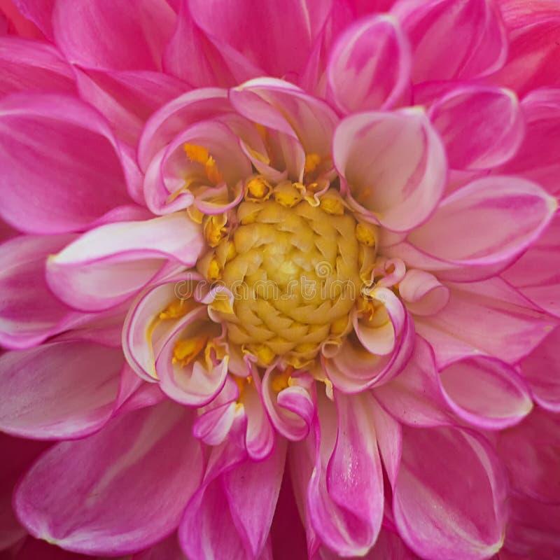 与黄色宏观中心的桃红色菊花花 库存图片