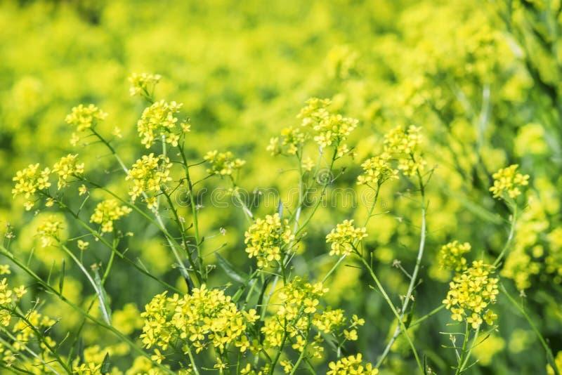 与黄色开花的强奸领域, blurr的夏天自然本底 免版税库存照片