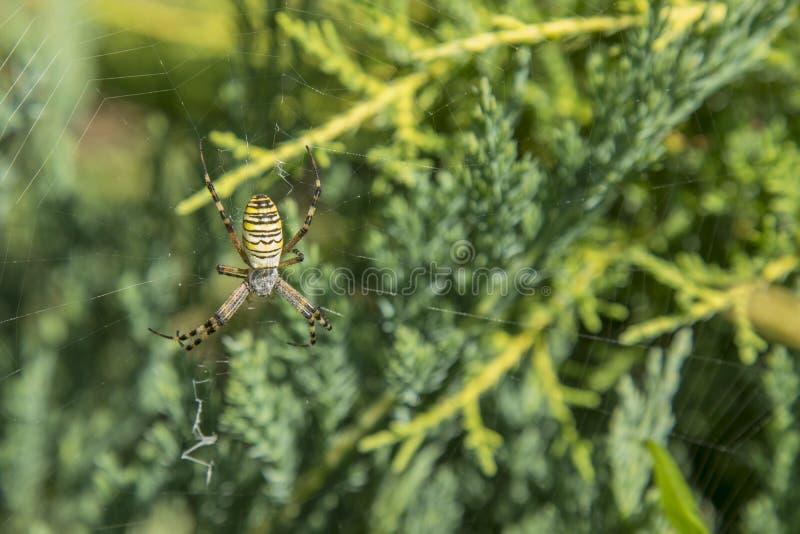 与黄色条纹的一只大蜘蛛在一张蜘蛛网在庭院里 蜘蛛庭院蜘蛛拉特 fa的Araneus亲切的araneomorph蜘蛛 库存图片