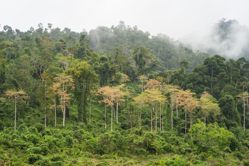 与黄色树的森林小山在与低云的绿色树中在Tay安格纽,越南的高原中心 免版税库存照片