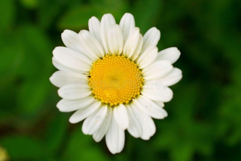 与黄色核心特写镜头的明亮的雏菊在夏天 免版税库存图片