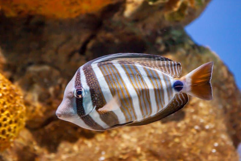 与黄色珊瑚的Desjardin sailfin 库存图片
