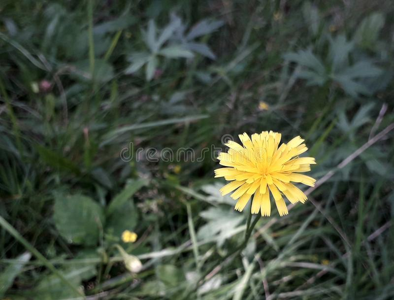 与黄色瓣的一朵花 免版税库存照片