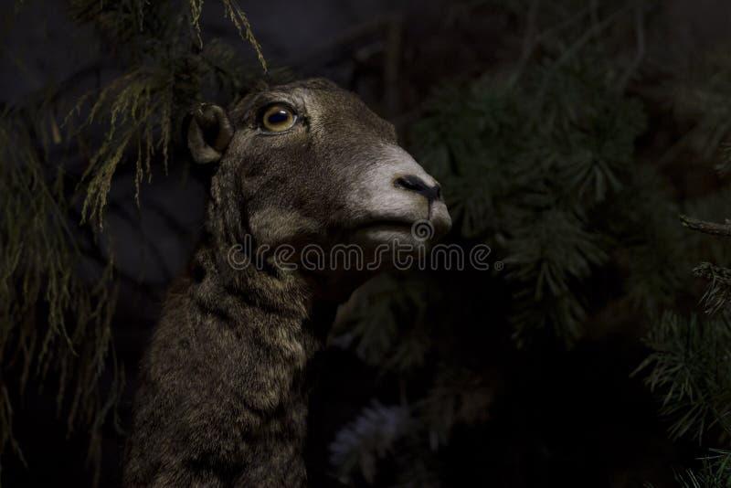 与黄色眼睛手表的怀疑山羊在您 免版税库存图片