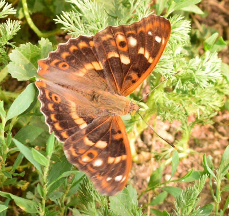 与黄色眼睛的一只蝴蝶坐绿草 图库摄影