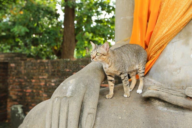 与黄色眼睛的灰色猫在寺庙 免版税库存图片