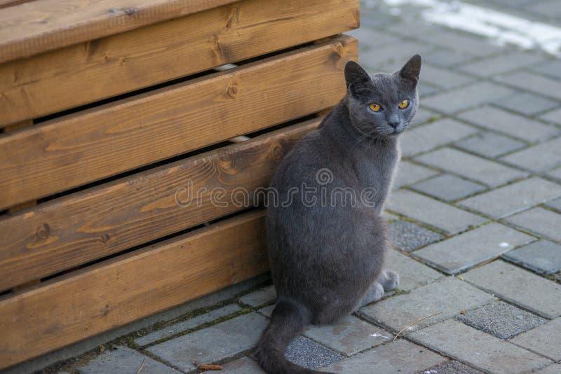 与黄色眼睛的猫坐看照相机的路面 免版税库存图片