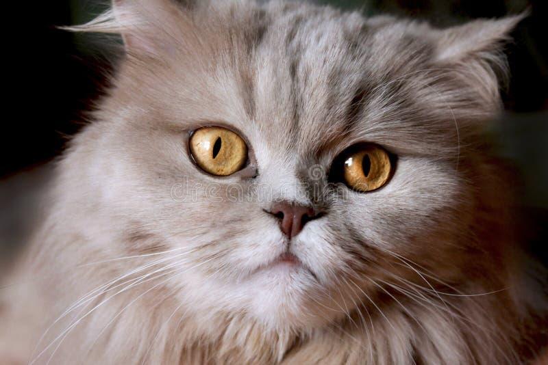 与黄色眼睛的美丽的大灰色猫 库存照片