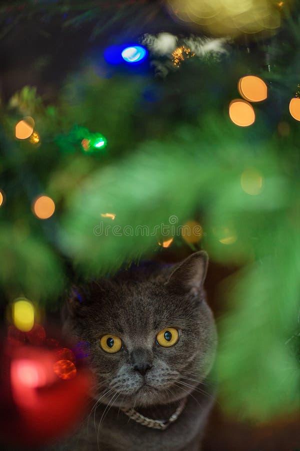 与黄色眼睛的美丽的灰色英国shorthair猫在一个银色衣领坐在发光的圣诞树下 免版税库存照片