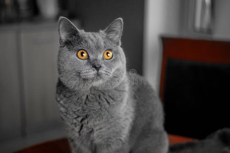 与黄色眼睛的美丽的英国灰色特写镜头猫 免版税库存照片