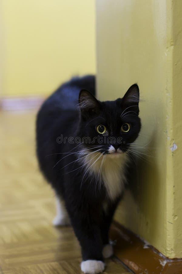 与黄色眼睛的黑和美丽的猫 库存图片