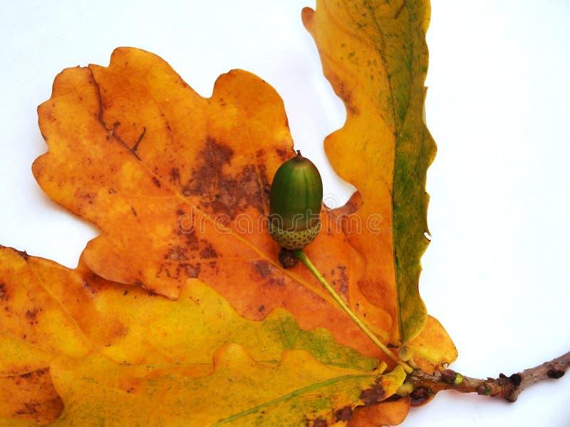 与黄色秋叶的橡木在一白色backgr的分支和橡子 库存例证