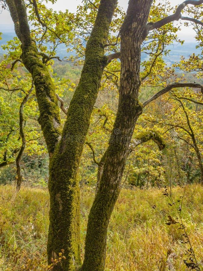 与黄色秋叶的老橡树 库存图片